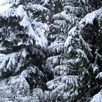 SnowTrees1-19-12a